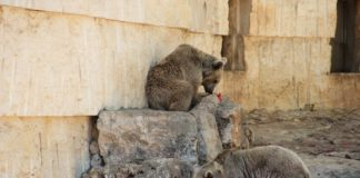 Does your Newcastle Neighbour Have the Right to Own a Bear?